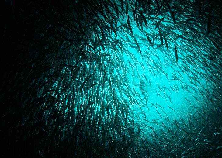 A shoal of herring.